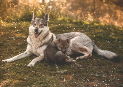 lobos en cordoba