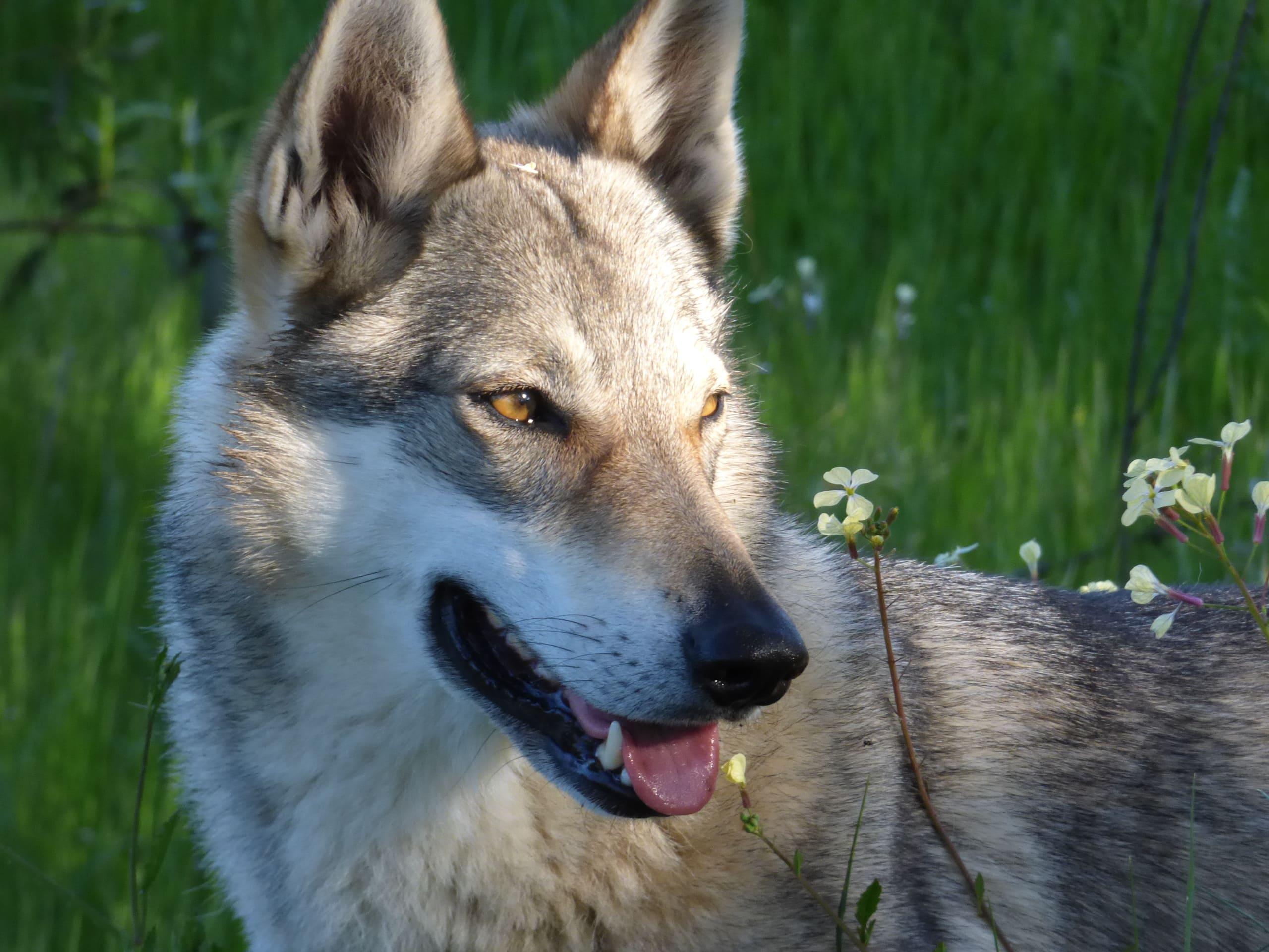 lobos en España